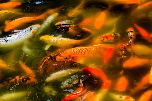 Carp「Koi goldfish, Yuyuan Garden, Shanghai, China」:スマホ壁紙(8)