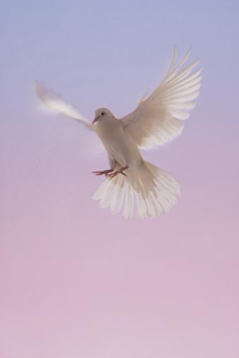 Animal Wing「White dove in flight」:スマホ壁紙(1)