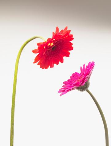 Love - Emotion「Gerbera daisies face to face」:スマホ壁紙(1)