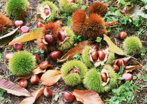 栗「Chestnut」:スマホ壁紙(15)