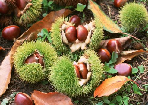 栗「Chestnut」:スマホ壁紙(18)