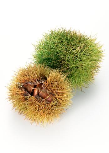 栗「Chestnut」:スマホ壁紙(11)