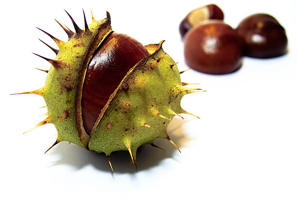 Chestnut:スマホ壁紙(壁紙.com)