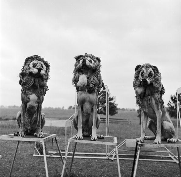 Three Lions「Doggy Lions」:写真・画像(18)[壁紙.com]