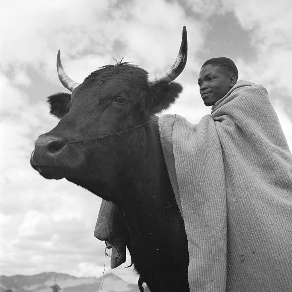 Ox Cart「Riding Oxen」:写真・画像(13)[壁紙.com]