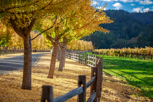 Entrance Sign「Yellow Ginkgo trees  on road lane in Napa Valley, California」:スマホ壁紙(17)
