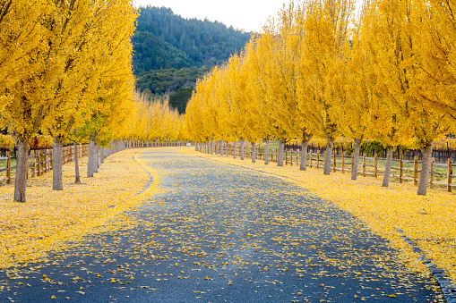 Gold「Yellow Ginkgo trees  on road lane in Napa Valley, California」:スマホ壁紙(9)