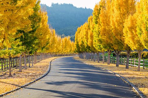 イチョウ「黄色ディスの木々を road のレーンにナパバレー、カリフォルニア州」:スマホ壁紙(10)