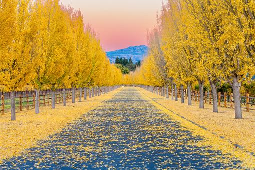 イチョウ「黄色ディスの木々を road のレーンにナパバレー、カリフォルニア州」:スマホ壁紙(11)