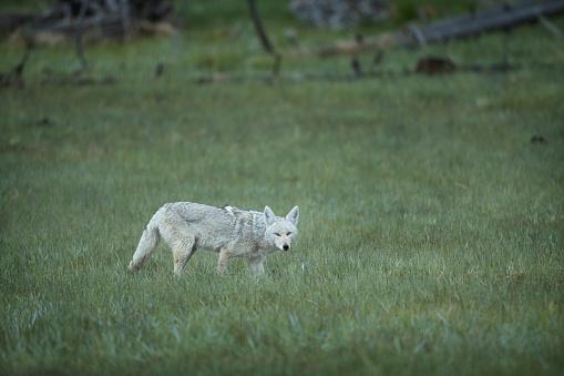野生動物「Coyote hunting in a field」:スマホ壁紙(10)
