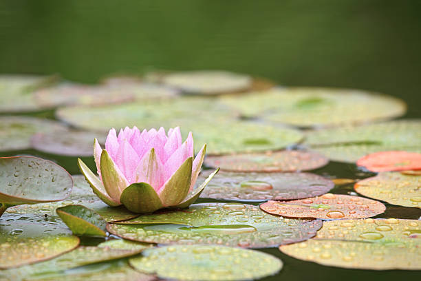 Pink Water Lily and leaves in a pond after rain:スマホ壁紙(壁紙.com)