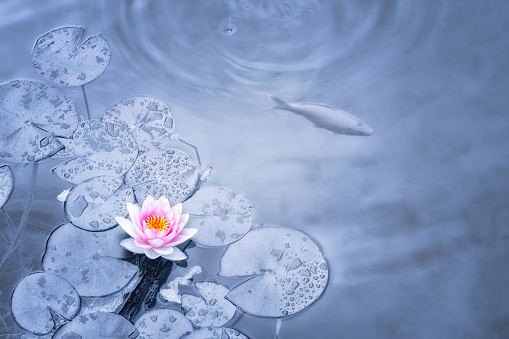Carp「Pink Water Lily in blue toned pond」:スマホ壁紙(2)