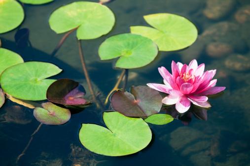 Rock Garden「Pink Water Lily」:スマホ壁紙(19)