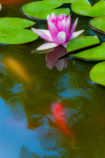 Carp「Pink Water Lily in Bloom with Koi Below Water Surface」:スマホ壁紙(16)
