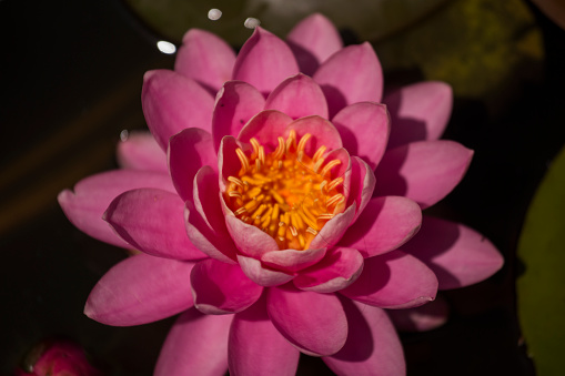 Water Lily「Pink Water Lily, Nymphaea on a Pond, Pink with Deep Green Background.」:スマホ壁紙(18)
