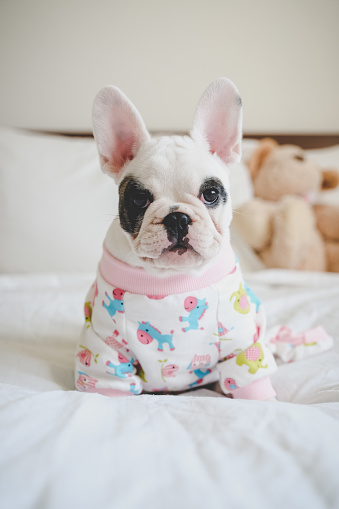 Weekend Activities「8 weeks old French Bulldog puppy wearing pajamas lying down on bed」:スマホ壁紙(12)