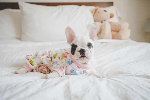 Duvet「8 weeks old French Bulldog puppy wearing pyjamas in bed」:スマホ壁紙(3)