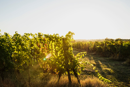 Nouvelle-Aquitaine「France, Nouvelle-Aquitaine, Department Gironde, Bordeaux wine region, Vineyard at sunset」:スマホ壁紙(14)
