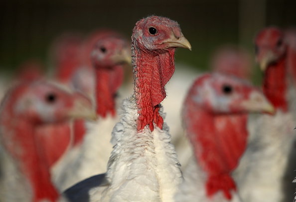 Animal「Turkeys Raised On California Farm」:写真・画像(9)[壁紙.com]