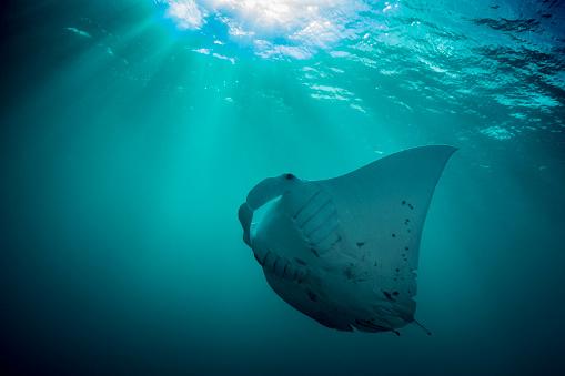 Manta「Manta Ray - Palau, Micronesia」:スマホ壁紙(17)