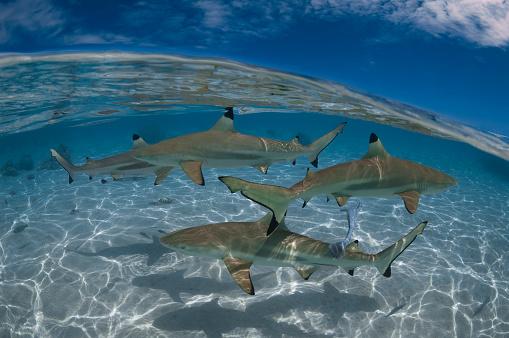 Blacktip Shark「Blacktip shark (Carcharhinus limbatus) - French Polynesia」:スマホ壁紙(5)