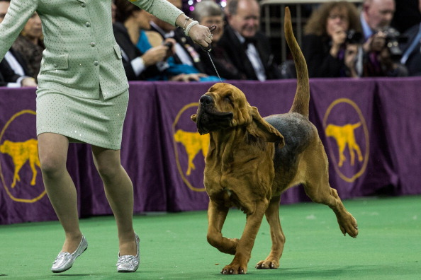 Nathan Burton「Champion Canines Compete At Annual Westminster Dog Show」:写真・画像(3)[壁紙.com]