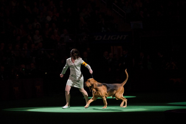 Nathan Burton「Champion Canines Compete At Annual Westminster Dog Show」:写真・画像(4)[壁紙.com]
