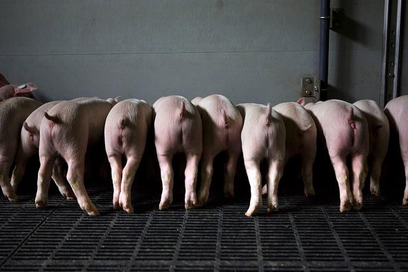 動物「German Hog Farmers Competitive In British Market」:写真・画像(8)[壁紙.com]