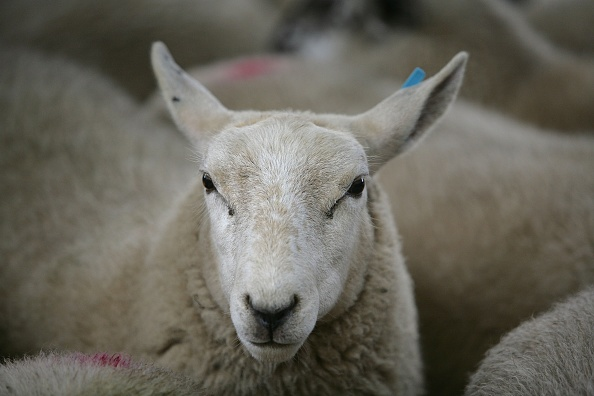 York - Yorkshire「Livestock Markets Resume After Foot And Mouth」:写真・画像(3)[壁紙.com]