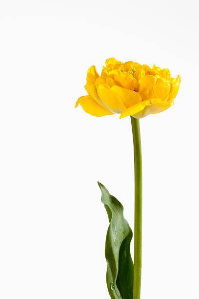 Yellow tulip flower against white background, close up:スマホ壁紙(壁紙.com)