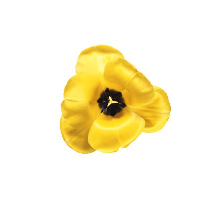 Flower Stigma「Yellow Tulip」:スマホ壁紙(19)