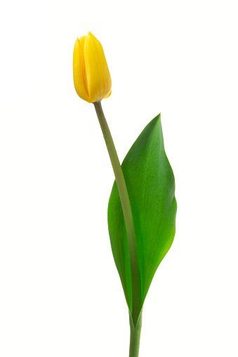 チューリップ「黄色のチューリップます。」:スマホ壁紙(5)