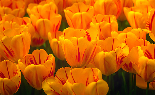 Keukenhof Gardens「Yellow tulips in the Netherlands」:スマホ壁紙(19)