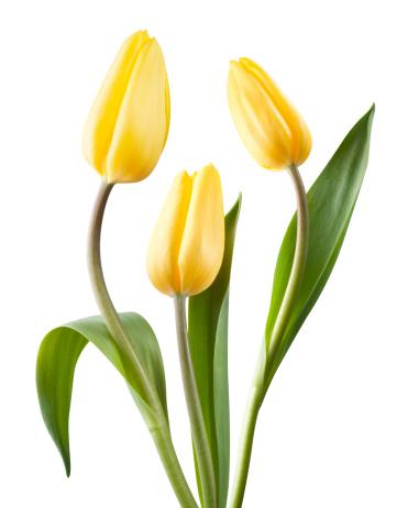 花「黄色のチューリップ」:スマホ壁紙(15)