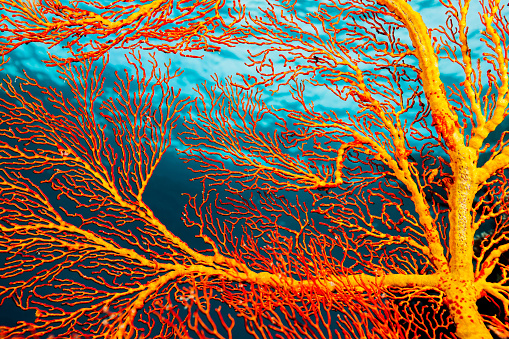 Shallow「Mopsella sp. Gorgonian Coral Beauty in Clear Shallow Waters, Palau, Micronesia」:スマホ壁紙(19)