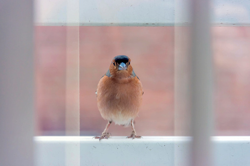 Curiosity「Chaffinch on a window sill」:スマホ壁紙(0)