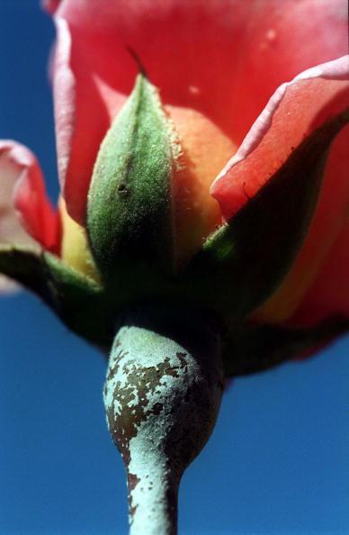 Powder Snow「Powdery Mildew grows on the stem of a rose in the」:写真・画像(19)[壁紙.com]