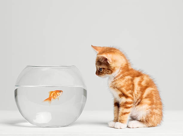 Kitten looking at fish in bowl, side view, studio shot:スマホ壁紙(壁紙.com)