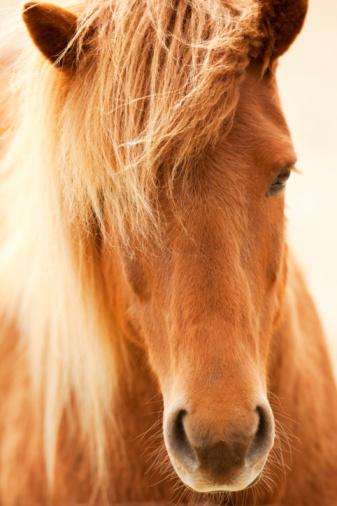 Horse「Wild palamino horse, Iceland」:スマホ壁紙(3)
