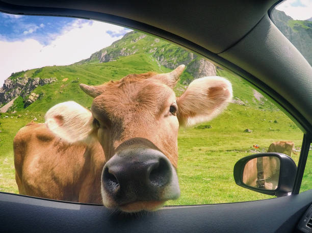 Cow sticking its head through a car window, Switzerland:スマホ壁紙(壁紙.com)