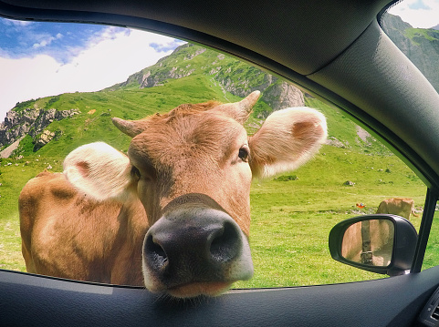 Females「Cow sticking its head through a car window, Switzerland」:スマホ壁紙(8)