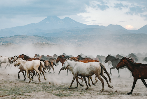 Stallion「Herd of wild yilki horses running gallop in dust」:スマホ壁紙(2)
