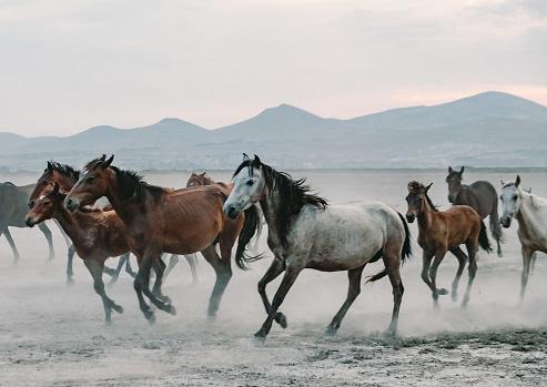 Stallion「Herd of wild horses running gallop in dust at sunset time」:スマホ壁紙(19)