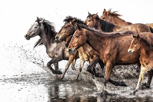 Horse「Herd of Wild Horses Running in Water」:スマホ壁紙(14)