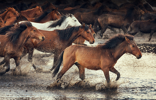 Animal Mane「Herd of Wild Horses Running in Water」:スマホ壁紙(13)