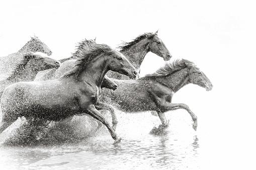 Horse「Herd of Wild Horses Running in Water」:スマホ壁紙(4)