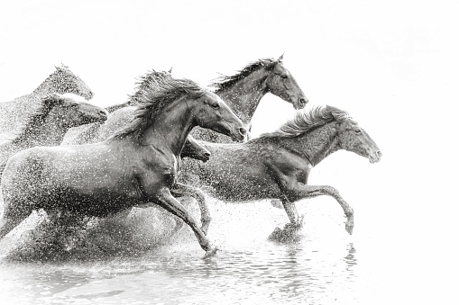 Monochrome「Herd of Wild Horses Running in Water」:スマホ壁紙(5)