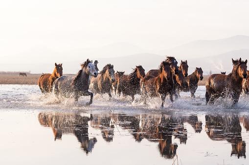 Horse「Herd of Wild Horses Running in Water」:スマホ壁紙(10)