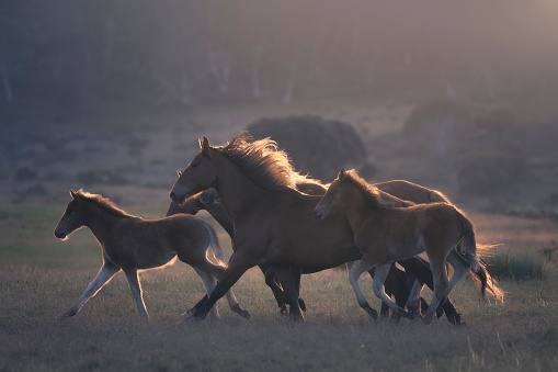 Stallion「A herd of wild horses running across alpine pasture, Australia」:スマホ壁紙(13)