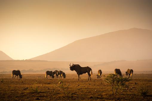 Horned「Herd of Wilderbeest grazing in the African savannah」:スマホ壁紙(8)